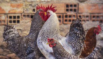 chicken2