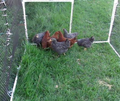 chicken-coop9