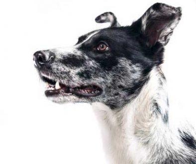 alert dog